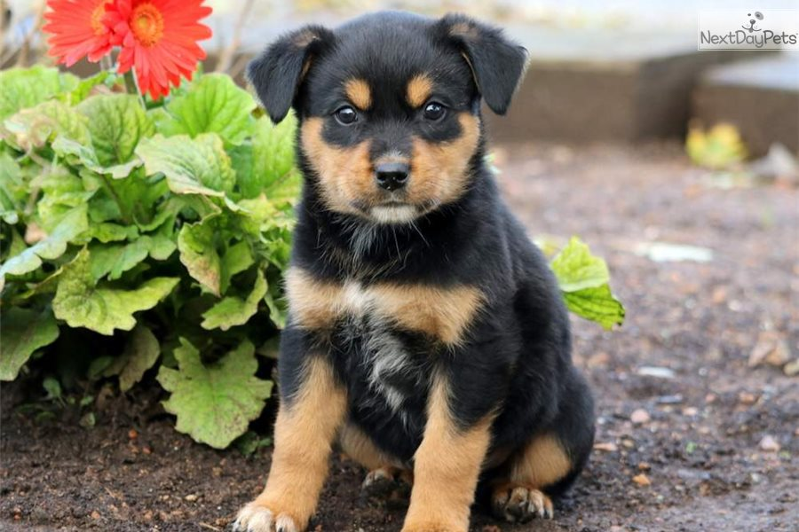 Biscuit Rottweiler Puppy For Sale Near Lancaster Pennsylvania
