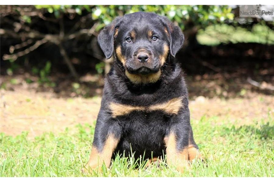 Skip Rottweiler Puppy For Sale Near Lancaster Pennsylvania
