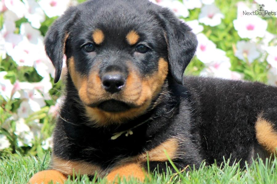 Brenna Rottweiler Puppy For Sale Near Lancaster Pennsylvania