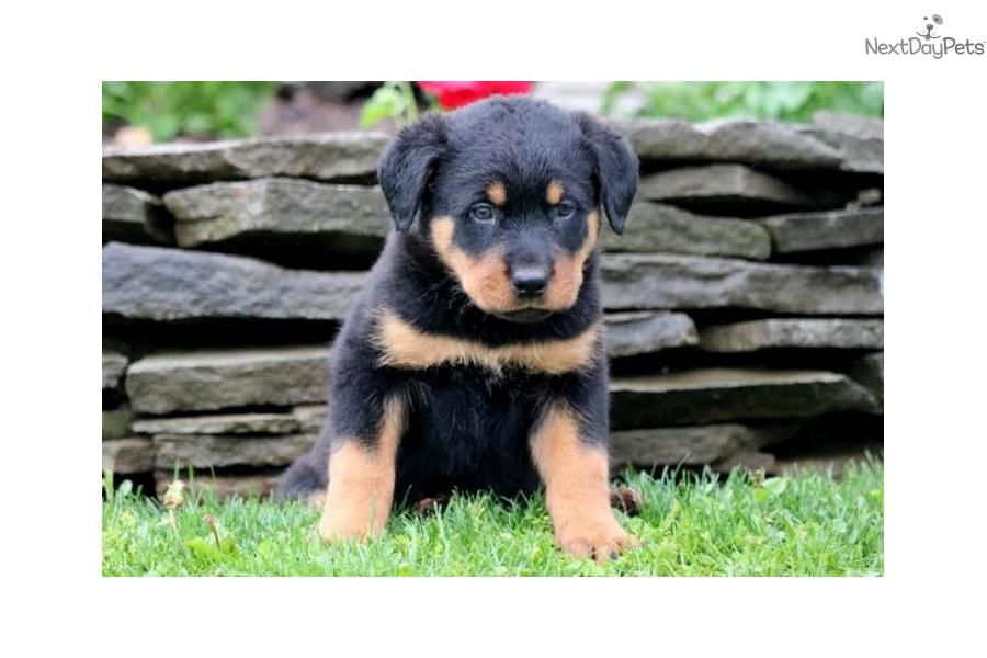 Muffin Rottweiler Puppy For Sale Near Lancaster Pennsylvania