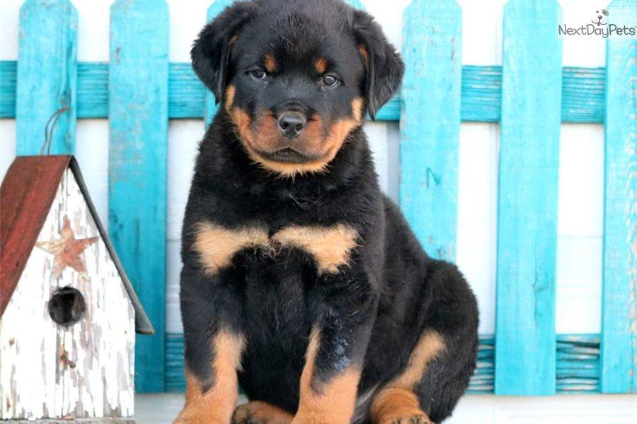 Barkley Rottweiler Puppy For Sale Near Lancaster Pennsylvania