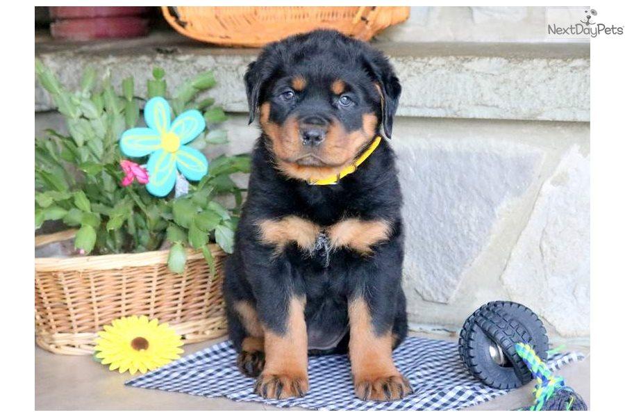 Baby Rottweiler Puppy For Sale Near Lancaster Pennsylvania