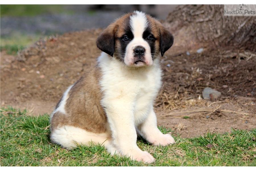 Beethoven Saint Bernard St Bernard Puppy For Sale Near Lancaster