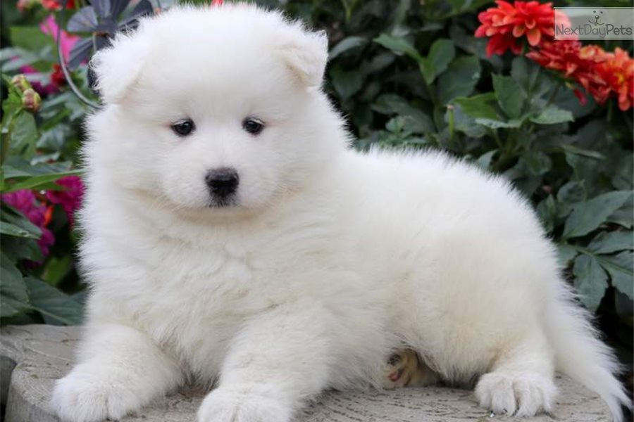 Cathy: Samoyed puppy for sale near Lancaster, Pennsylvania