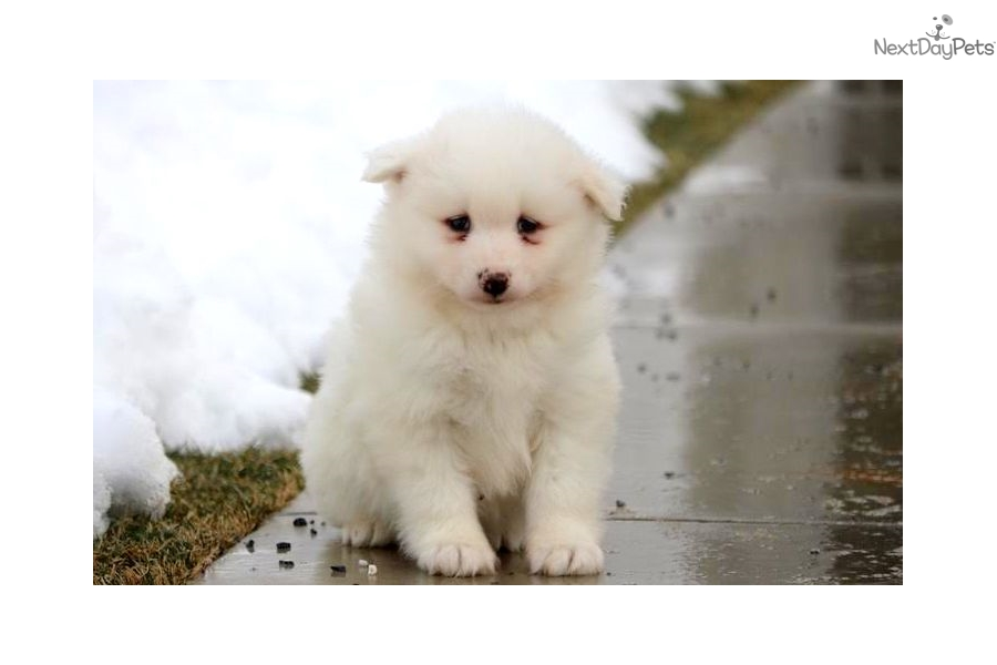 snowball samoyed puppy for sale near lancaster pennsylvania