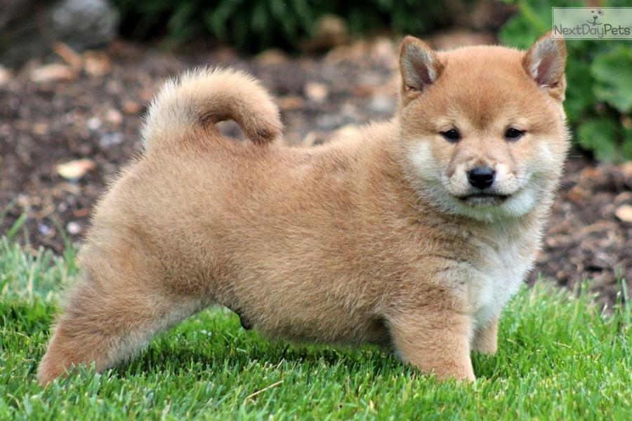Shiba Inu puppy for sale near Lancaster, Pennsylvania ...
