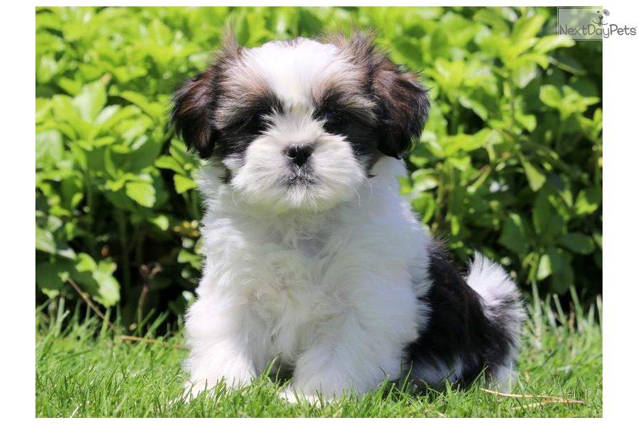 Lilly Shih Tzu Puppy For Sale Near Lancaster Pennsylvania