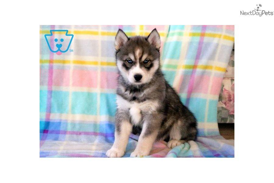 Navy: Siberian Husky puppy for sale near Lancaster ...
