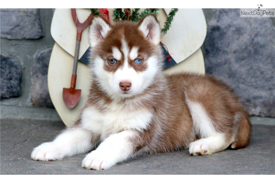 Cinnamon Siberian Husky Puppy For Sale Near Lancaster Pennsylvania