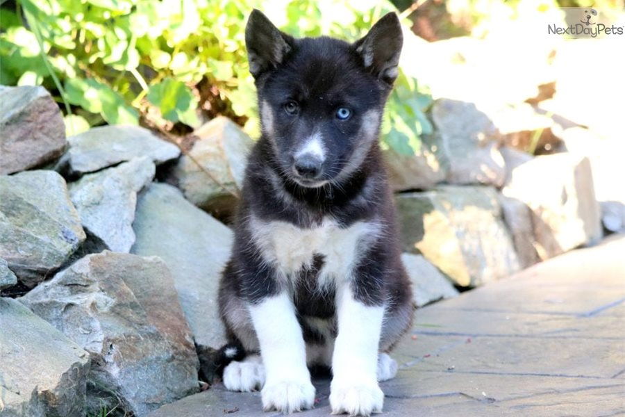 Milly Siberian Husky Puppy For Sale Near Lancaster Pennsylvania