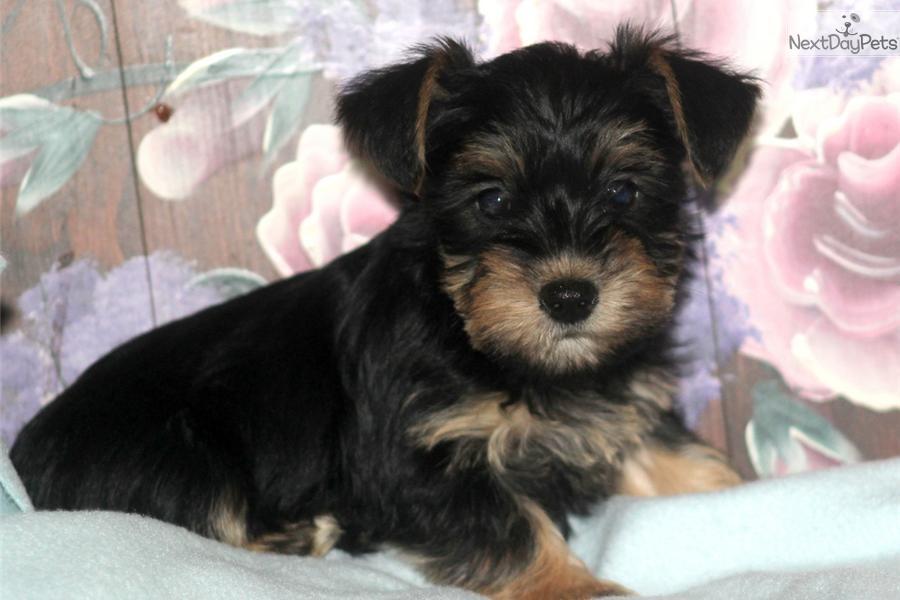 Snorkie Puppy For Sale Near Lancaster Pennsylvania