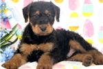 Picture of Paws - Airedale Terrier Male