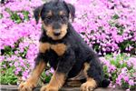 Airedale Terriers for sale