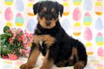 Picture of Paige - Airedale Terrier Female
