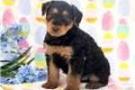 Picture of Prince - Airedale Terrier Male