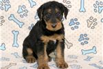 Picture of Buttons - Airedale Terrier Male
