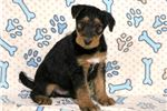 Picture of Brady - Airedale Terrier Male