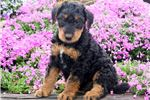 Picture of Trey - Airedale Terrier Male