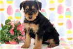 Picture of Priscilla - Airedale Terrier Female