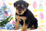 Picture of Petey - Airedale Terrier Male