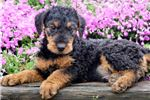 Picture of Toucan - Airedale Terrier Male