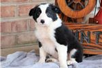 Picture of Moby - Border Collie Male