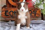 Picture of Mya - Border Collie Female