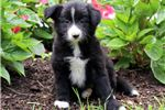 Picture of Candy - Border Collie Female