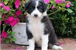 Picture of Dolly - Border Collie Female