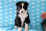 Picture of Scar - Border Collie Male