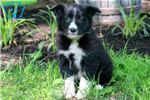 Picture of Bo - Border Collie Male