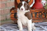Picture of Melody - Border Collie Female