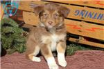 Picture of Tabitha - Border Collie Female