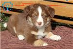Picture of Tyler - Border Collie Male