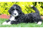 Picture of Special - Bordoodle Female