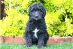 Picture of Sonny - Bordoodle Male
