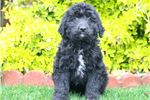 Picture of Skittles - Bordoodle Female