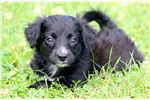 Picture of Tinkerbell - Mini Bordoodle Female