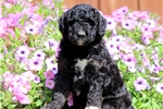 Picture of Socks - Bordoodle Male