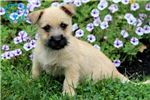 Picture of Bobo - Cairn Terrier Male