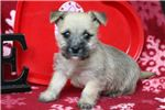 Picture of Cookie - Cairn Terrier Female