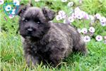 Picture of Buzz - Cairn Terrier Male