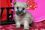 Picture of Candy - Cairn Terrier Female