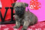 Picture of Chester - Cairn Terrier Male