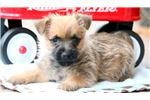 Picture of Tucker - Cairn Terrier Male