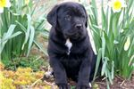 Picture of May - Cane Corso Female
