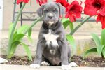 Picture of Goldie - Cane Corso Female