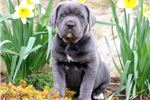 Picture of Mandy - Cane Corso Female