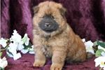 Picture of Chocolate - Chow Chow Male