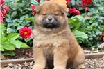Picture of Pluto - Chow Chow Male